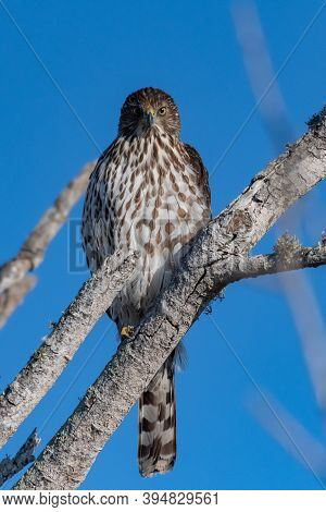 Coopers Hawk Shows Fierce Expression While Perched On Deadwood Tree Branch Overlooking The Estuary F