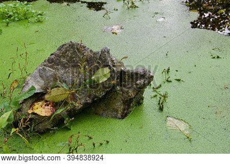 Rock Stands In A Duckweed Covered Pond In A Still Backwater Of Goldstream River In The Autumn, Vanco