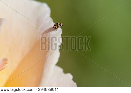 Tiny Gold White And Black Beetle On Edge Of Peach Coloured Rose Petal, Vancouver Island, British Col