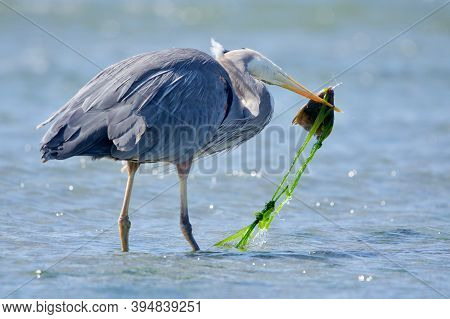 Great Blue Heron, Head Sideways, Catches A Large Flatfish With Streamers Of Seaweed Attached, Whitty