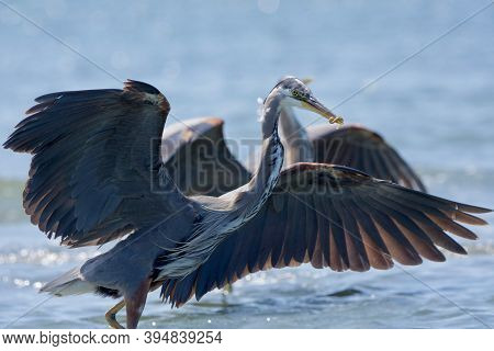 Two Great Blue Herons With Wings Spread, One With Small Fish In Beak, Whitty's Lagoon, Vancouver Isl
