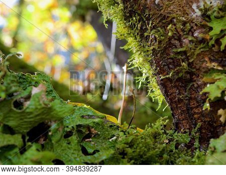 Detail Of Lichen And Moss Covered Fork In Branch Of Maple Tree, Goldstream Provincial Park, Vancouve