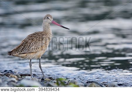 Marbled Godwit With Sand On Its Pink Beak Stands On Pebble Shore Of Whiffen Spit,  Vancouver Island,