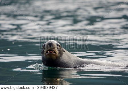 Large Male California Sea Lion Stares While Swimming By Showing Its Teeth And Whiskers, Sooke Harbou