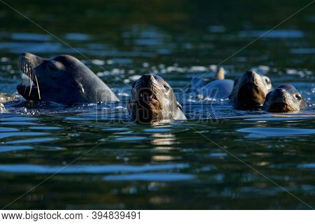 Four California Sea Lions Swim With Their Heads Up In Sooke Harbour, Vancouver Island, British Colum
