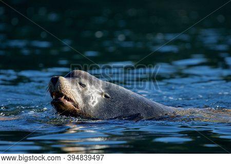 Large Bull California Sea Lion Swims With Mouth Open In Dark Blue-green Sea, Vancouver Island, Briti