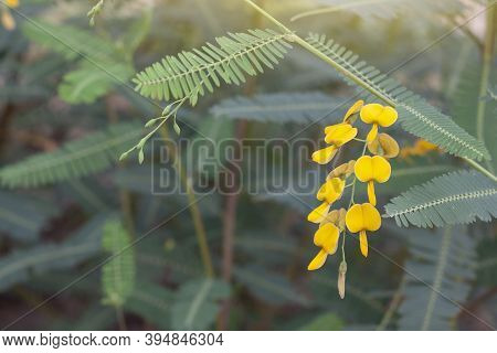 Yellow Sesbania Bloom Flower Can Be Used To Make Food And Desserts Of Thailand.