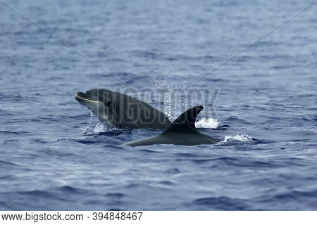 The Common Bottlenose Dolphin Or Atlantic Bottlenose Dolphin (tursiops Truncatus) On The High Seas.