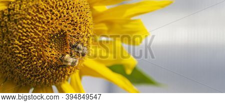 Beautiful Bright Yellow Sunflower And Green Leaves With Two Bumblebees Under The Summer With Clouds.