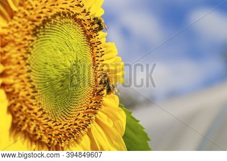 Beautiful Bright Yellow Sunflower And Green Leaves With Two Bumblebees Under The Summer Blue Sky Wit