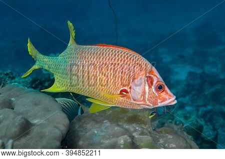 A Bright Red Fish With Large Eyes (adioryx Spinifer) Swims Above The Coral. The Dorsal Fin Is Red, T