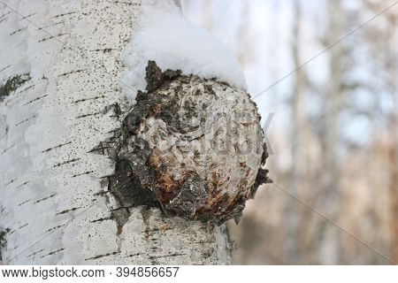 Chaga (inonotus Obliquus) Is A Fungus From The Hymenochaetaceae Family. Potential Medicine For Cance