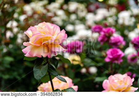 Beautiful Daybreaker Floribunda Rose On Blurred Floral Background.