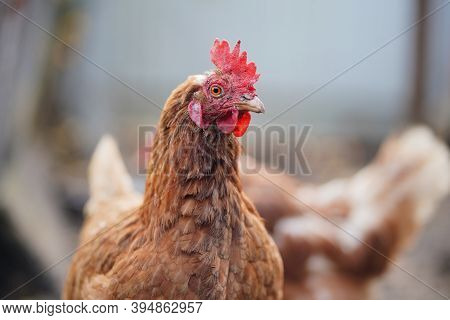 Chickens In Enclosure. Brown Hens Walking On Autumn Day On Farm. Red Chicken Walking In Paddock. Chi