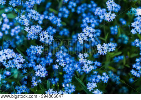 Delicate Blue, Lilac Forget-me-nots Bloomed In Spring And Early Summer.