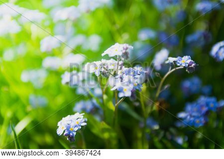 Fresh Pleasant Flowers Of Forget-me-nots Are Illuminated By Light Sunlight.