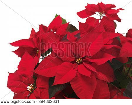 Poinsettia - red Christmas flower leaves isolated on white background