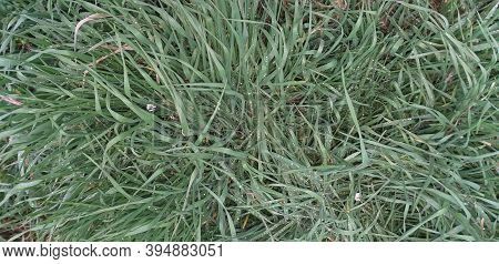 Pale Green Grass With Many Raindrops On It