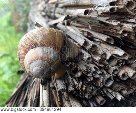 Small Garden Snail In Shell Crawling On Wet Road, Slug Hurry Home. Snail Slug Consist Of Edible Tast