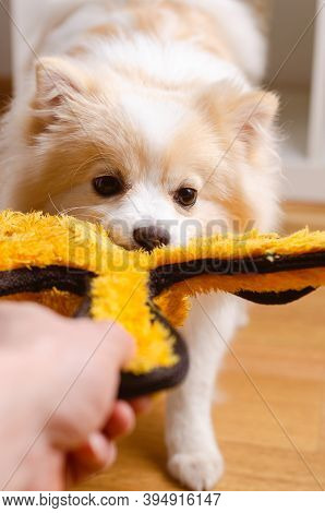Tug Of War With Dog Of Pomeranian Breed. Spitz Klein In Home Concept. Playing With Dog.