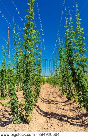 Hop field in Zatec region, Czech Republic