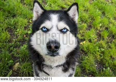 Husky Dog On The Grass Background. Portrait Of A Siberian Husky. Black And White Siberian Husky With