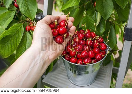 Harvesting Cherries In The Garden. Man's Hand Picks A Cherry Crop In A Bucket. Fresh Red Sour Cherri