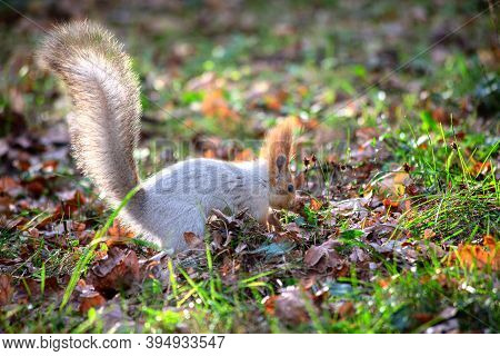 Fluffy Grey Squirrel Hides A Nut In A City Park Among Autumn Fallen Leaves. Concept Of Wildlife In A