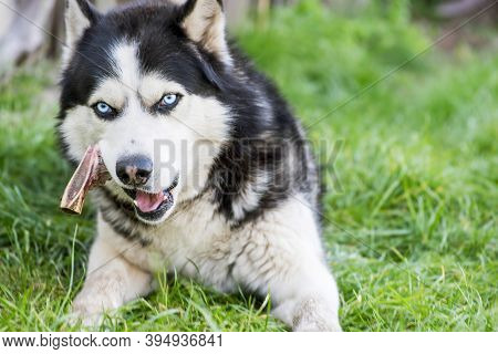 Black And White Siberian Husky Eats Bone On Meadow. Dog Breed Siberian Husky On The Green Grass.