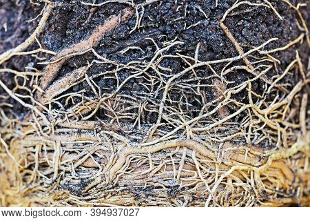 Soil And Root Structure, Network Of Roots Under Soil, Plant Root. The Root Of The Plant Is In The So