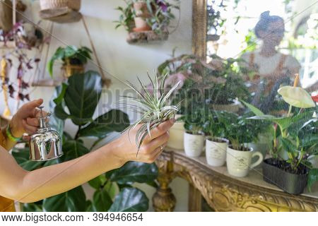 Woman Florist Spraying Air Plant Tillandsia At Garden Home/greenhouse, Taking Care Of Epiphytes Hous