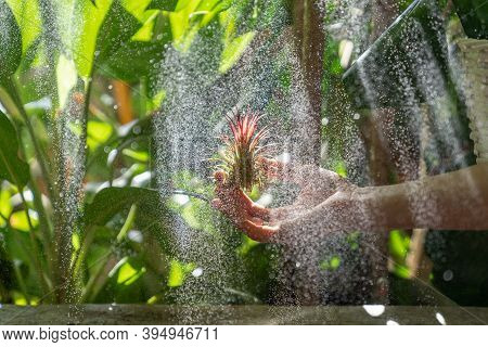 Close Up Of Woman Florist Holding In Her Wet Hand And Spraying Air Plant Tillandsia At Garden Home/g