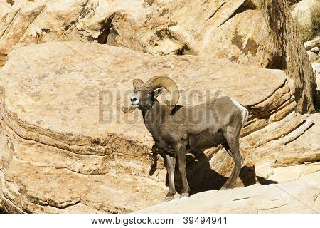Desert bighorn sheep, Ovis canadensis nelsoni, on a canyon overlook
