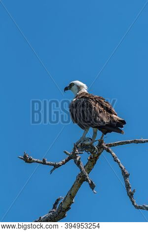Sitting Osprey With A Fish In Its Claws, Mexico