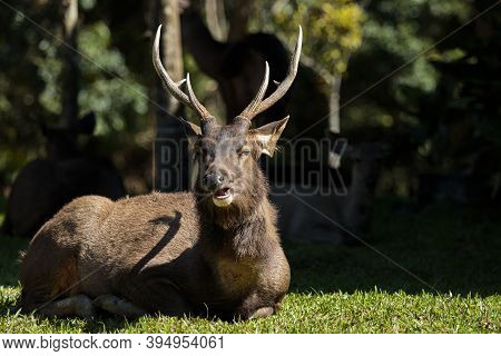 Male Sambar Deer In Khao Yai National Park Thailand