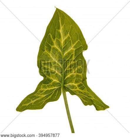 Plant Leaf Of False Arum , Italian Gouet With Beautiful Pattern Isolated On White Background