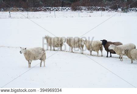 Group Of Sheep In Winter Farm After Snow Storm