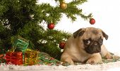 cute fawn pug puppy under christmas tree poster