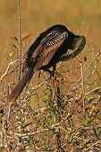 A Double-crested Cormorant grooming on a perch in the Everglades. poster