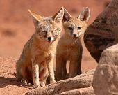 A Kit Fox family outside their den in Utah. poster