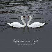 Romantic swan couple in black water poster