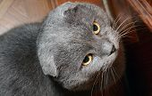 Scottish fold grey cat with stern look poster