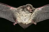 Vampire bat with open wings on the black poster