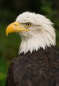 Bald eagle national bird of USA adult with white head poster
