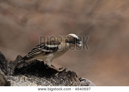 White-browed Sparrow-weaver (plocepasser Mahali