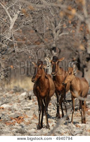 Three Red Hartebeest looking curiously into the camera poster