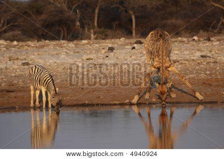 Giraffe And Plains Zebra