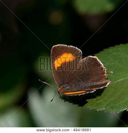 Brown Hairstreak (Thecla betulae),  Sweden