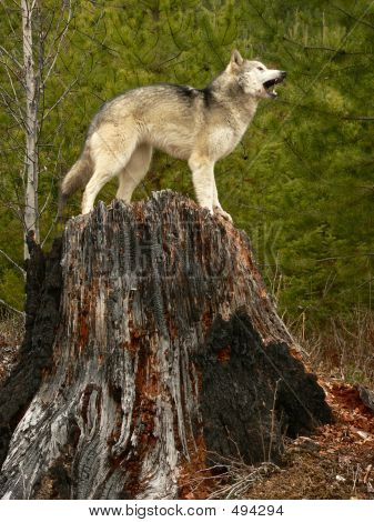 Howling Wolf On Tree Stump