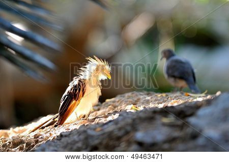cuckoo (guira guira) sitting on branch